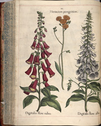 Foxgloves from 'Hortus Eystettensis'